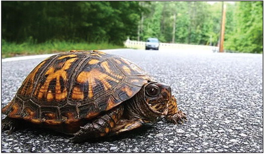 Turtles taking to the streets